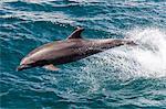 Adult bottlenose dolphin (Tursiops truncatus) leaping in the waters near Isla San Pedro Martir, Baja California Norte, Mexico, North America