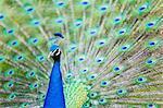 Male Peacock (Pavo cristatus) displaying Plumage at Leeds Castle, Maidstone, Kent, England, United Kingdom, Europe