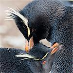 Rockhopper penguin (Eudyptes chrysocome) mutual preening behaviour, Rockhopper Point, Sea Lion Island, Falkland Islands, South America