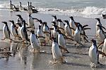 Large group of gentoo penguins (Pygoscelis papua) emerge from the sea, Sea Lion Island, Falkland Islands, South America