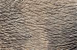 Elephant (Loxodonta africana) skin, Addo Elephant National Park, South Africa, Africa