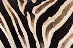 Plains zebra (Equua quagga burchelli) stripe pattern detail showing shadow stripe, South Africa, Africa