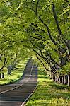Kingston Lacy Beech lined avenue with road near Badbury Rings, Dorset, England, United Kingdom, Europe