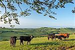Cattle grazing in beautiful rolling countryside, Devon, England, United Kingdom, Europe