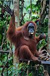 Feeding time for the Sumatran orangutan (Pongo abelii), Bukit Lawang Orang Utan Rehabilitation station, Sumatra, Indonesia, Southeast Asia, Asia