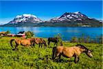 Horses at Mjelde, Kvaloya Island, Tromso, Norway