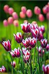 Tulips, Arctic-Alpine Botanic Garden, Tromso, Norway