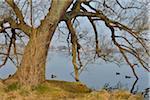 Ducks on Lake Scherwin, Schwerin, Western Pomerania, Mecklenburg-Vorpommern, Germany