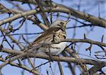 Fieldfare Thrush (Turdus pilaris) sitting on a tree branch.