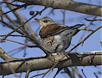 Fieldfare Thrush (Turdus pilaris) sitting on a tree branch