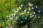 Spring snowflake (leucojum vernum), in spring, Husum, Schlosspark, Schleswig-Holstein, Germany