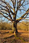 Old Oak Tree, Urwald Sababurg, Hofgeismar, Reinhardswald, Hesse, Germany