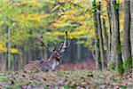 Male Fallow Deer (Cervus dama) Lying Down in Forest in Autumn, Hesse, Germany