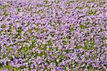 Field of Crocus in Spring, Husum Schlosspark, Schleswig-Holstein, Germany