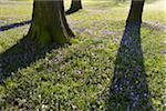 Crocus and Trees in Spring, Husum Schlosspark, Schleswig-Holstein, Germany