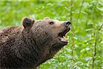 European Brown Bear (Ursus arctos arctos), Bavarian Forest National Park, Bavaria, Germany