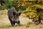 Wild Boar (Sus scrofa), Germany