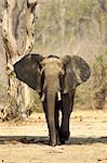 Alert african elephant (loxodonta africana), Mana Pools National Park, Zimbabwe