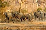Herd of african elephants (Loxodonta africana) rushing to waterhole, Mana Pools National Park, Zimbabwe