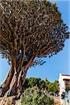 Dragon Tree (Dracaena draco), Parque del Drago, Tenerife, Canary Islands