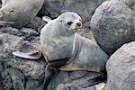 New Zealand Fur seal at Otago Peninsula, Dunedin, South Island, Otago, New Zealand, Pacific