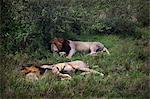 Lions sleeping in grass