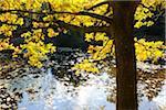 Autumn Colored Oak Tree with Sunlight, Stuedenbach, Eppenbrunn, Pfaelzerwald, Rhineland-Palatinate, Germany