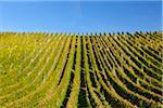Vineyard, Moselle Valley, Rhineland-Palatinate, Germany