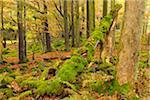 Forest in Autumn, Wasserkuppe, Gersfeld, Rhon Mountain Range, Hesse, Germany