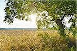 Walnut Tree in Summer with Sun, Arnstein, Franconia, Bavaria, Germany