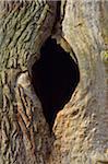 Old Oak Tree with Knothole, Urwald Sababurg, Hofgeismar, Reinhardswald, Hesse, Germany