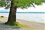 Lakeside with Tree, Ambach, Starnberger See, Upper Bavaria, Bavaria, Germany