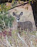 White-tailed deer (whitetail deer) (Virginia deer) (Odocoileus virginianus) doe, Custer State Park, South Dakota, United States of America, North America