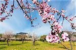Blooming almond trees in an orchard on a field, Alaro, Raiguer, Majorica, Balearic Islands, Spain