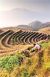 Longsheng (Longji or Dragon's backbone) rice terraces near Guilin, Guanxi, China. Woman of Zhuang etnicity working in the fields (MR)