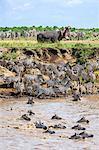 Kenya, Narok County, Masai Mara National Reserve. Zebras swim across the Mara River watched by a large hippo.