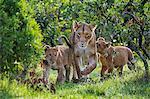Kenya, Narok County, Masai Mara National Reserve. A Lioness and her two cubs walk through riverine bush.