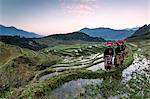 Vietnam, Sapa. Red Dao women on rice paddies at sunrise (MR)