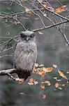 Blakistons Fish Owl