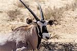 close up portrait of Gemsbok, Oryx gazella,dominant Gemsbok antelope in the park, Kalahari, South Africa