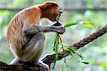 Proboscis Monkeys, Nasalis larvatus, or long-nosed monkeys, the worlds most endangered primates, are endemic to the mangrove forests of the Southeast Asian island of Borneo. Proboscis Monkey Sanctuary, Sandakan, Sabah, Malaysia.