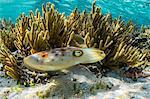 Adult broadclub cuttlefish (Sepia latimanus), Sebayur Island, Komodo Island National Park, Indonesia, Southeast Asia, Asia