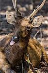 Adult buck Timor rusa deer (Cervus timorensis), Komodo National Park, Komodo Island, Indonesia, Southeast Asia, Asia