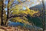 European Beech (Fagus sylvatica) Tree beside Langbathsee in Autumn, Austria