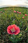 Close-up of Opium Poppy (Papaver somniferum) in field at Sunrise, Summer, Germerode, Hoher Meissner, Werra Meissner District, Hesse, Germany