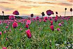 Close-up of Opium Poppy Field (Papaver somniferum) at Sunrise, Summer, Germerode, Hoher Meissner, Werra Meissner District, Hesse, Germany