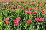 Close-up of Opium Poppy Field (Papaver somniferum) Summer, Germerode, Hoher Meissner, Werra Meissner District, Hesse, Germany