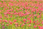 Opium Poppy Field (Papaver somniferum) Summer, Germerode, Hoher Meissner, Werra Meissner District, Hesse, Germany