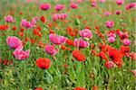 Close-up of Opium Poppies (Papaver somniferum) and Corn Poppies (Papaver rhoeas) in Field, Summer, Germerode, Hoher Meissner, Werra Meissner District, Hesse, Germany