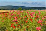 Opium Poppies (Papaver somniferum) and Corn Poppies (Papaver rhoeas) in Field, Summer, Germerode, Hoher Meissner, Werra Meissner District, Hesse, Germany